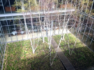 Birch trees in the courtyard.